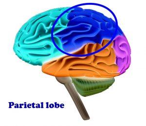 Parietal Lobe Sara Pugh