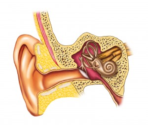 Illustration showing the interiors of an human ear. Digital illustration.