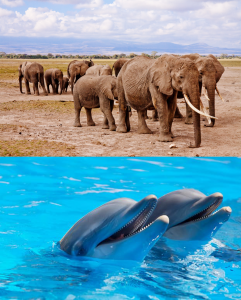 eleph-dolphin